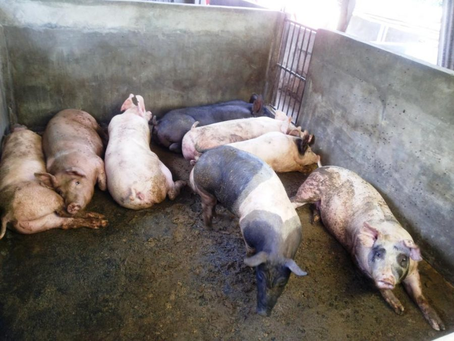 Ask Geri: Where to Buy Piglets and How Much?